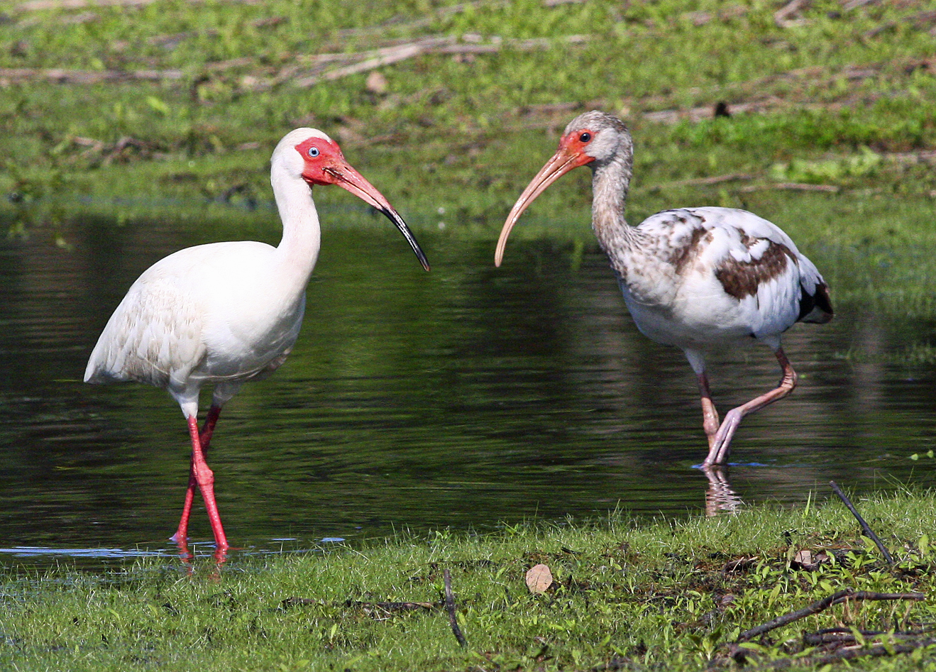 White-Ibises-in-Southwood-1